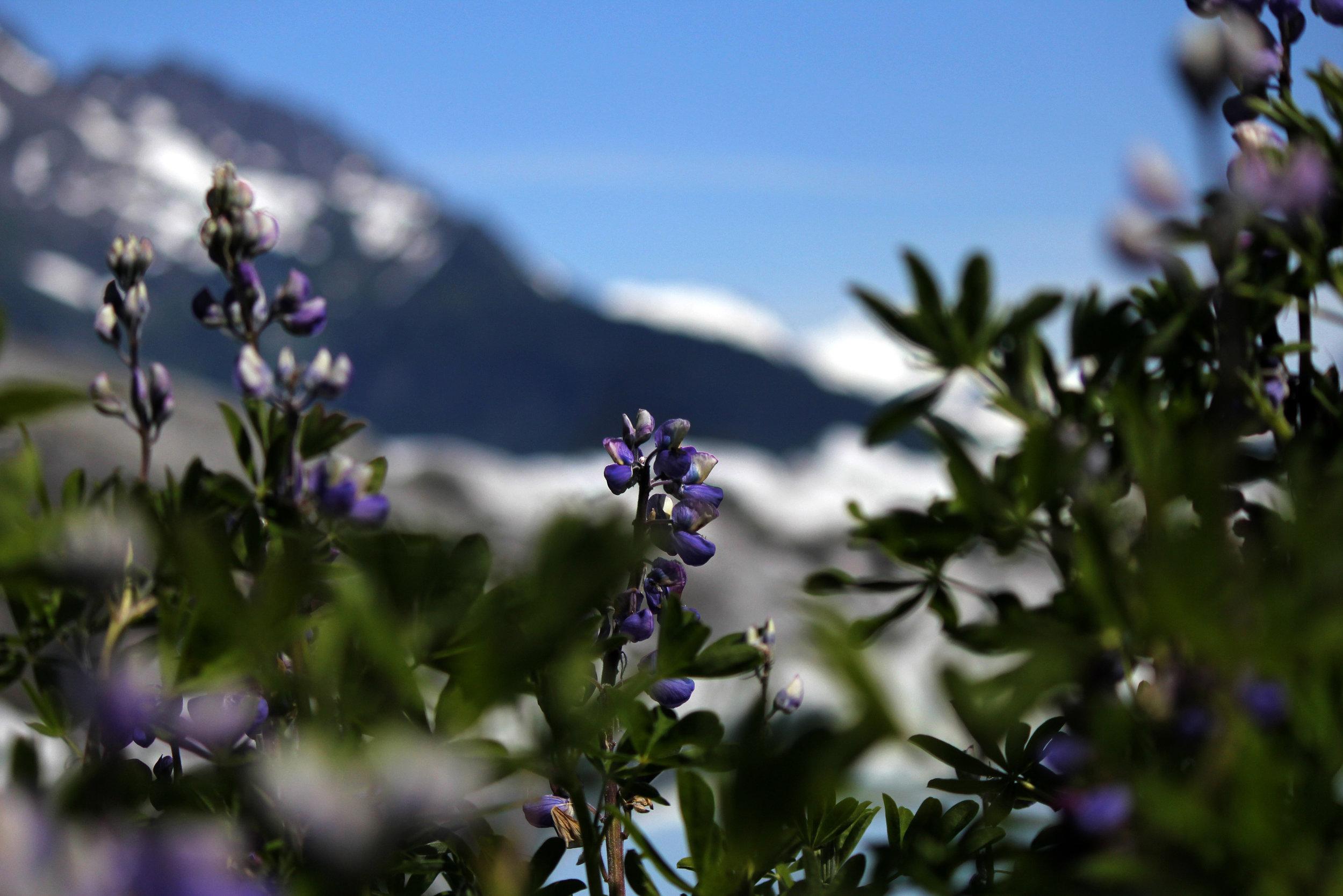 160708_CA_fireweed_plants_sheridan_NWG.jpg