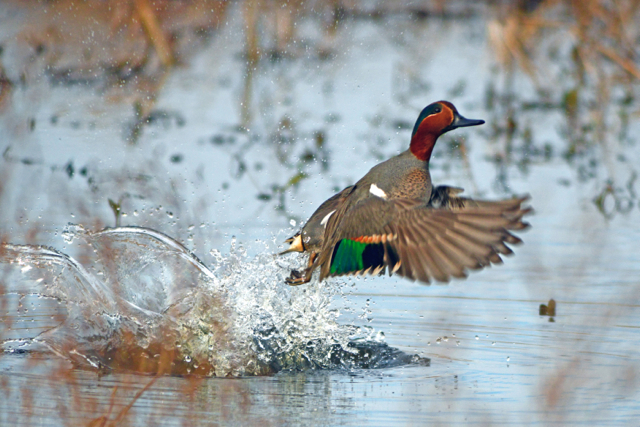 Teal in Flight - Stephen Kirkpatrick ©