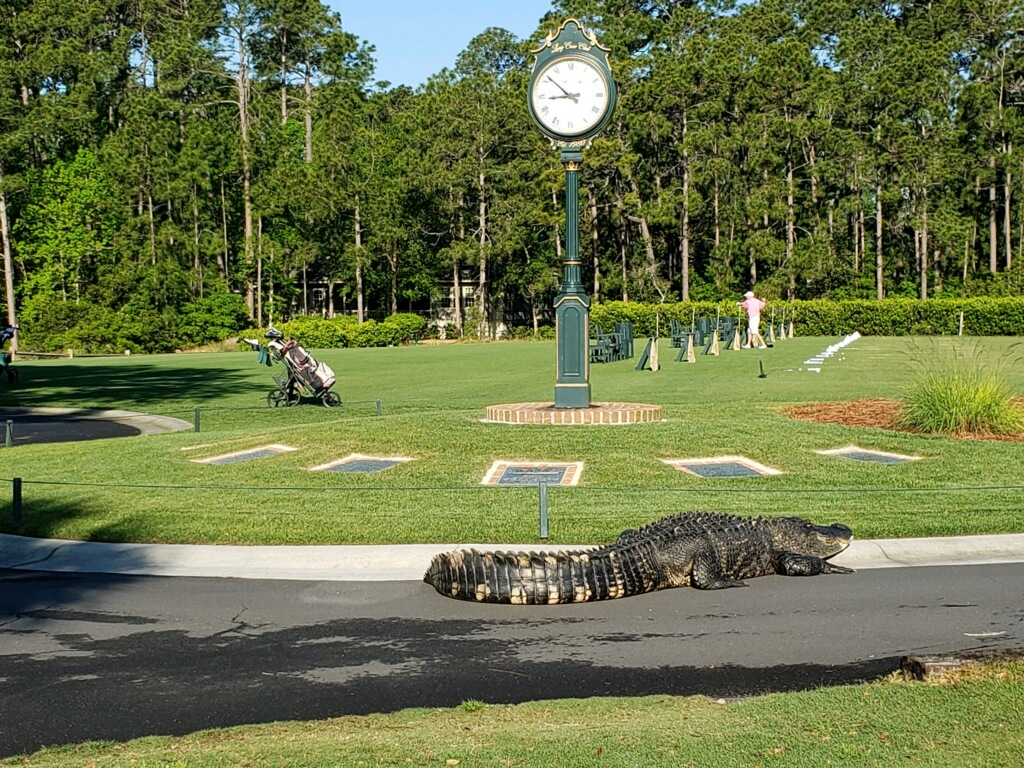 """Big Daddy"" was seen crossing the Long Cove Club Driving Range the morning of April 23, 2019."