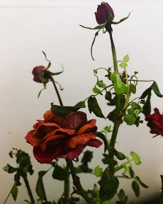 Pls stay alive... #trying #flowers #plants #roses #tearoses