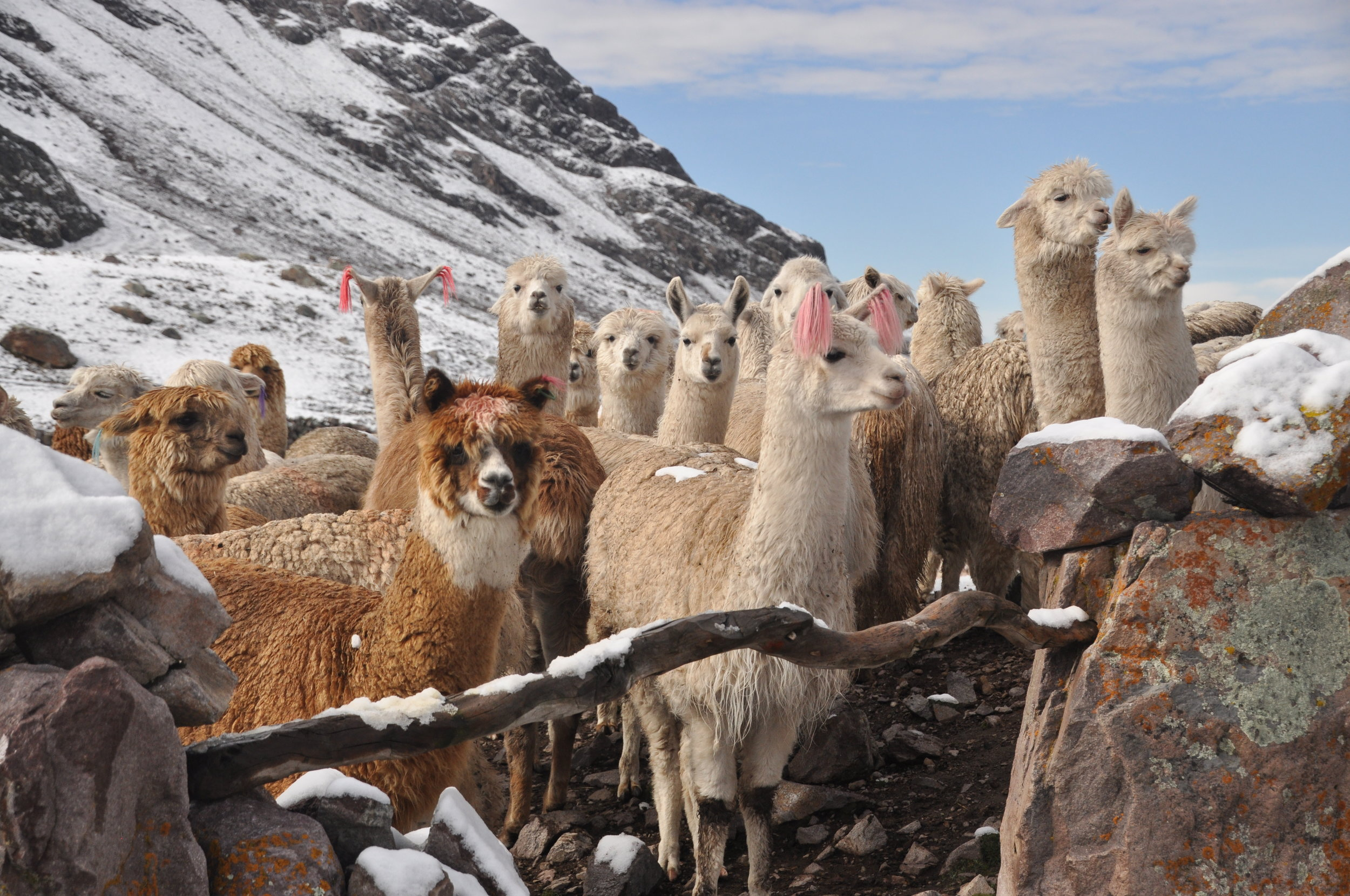 Treasured by the ancient Inca civilization, their fine fleeces were reserved for Incan royalty.