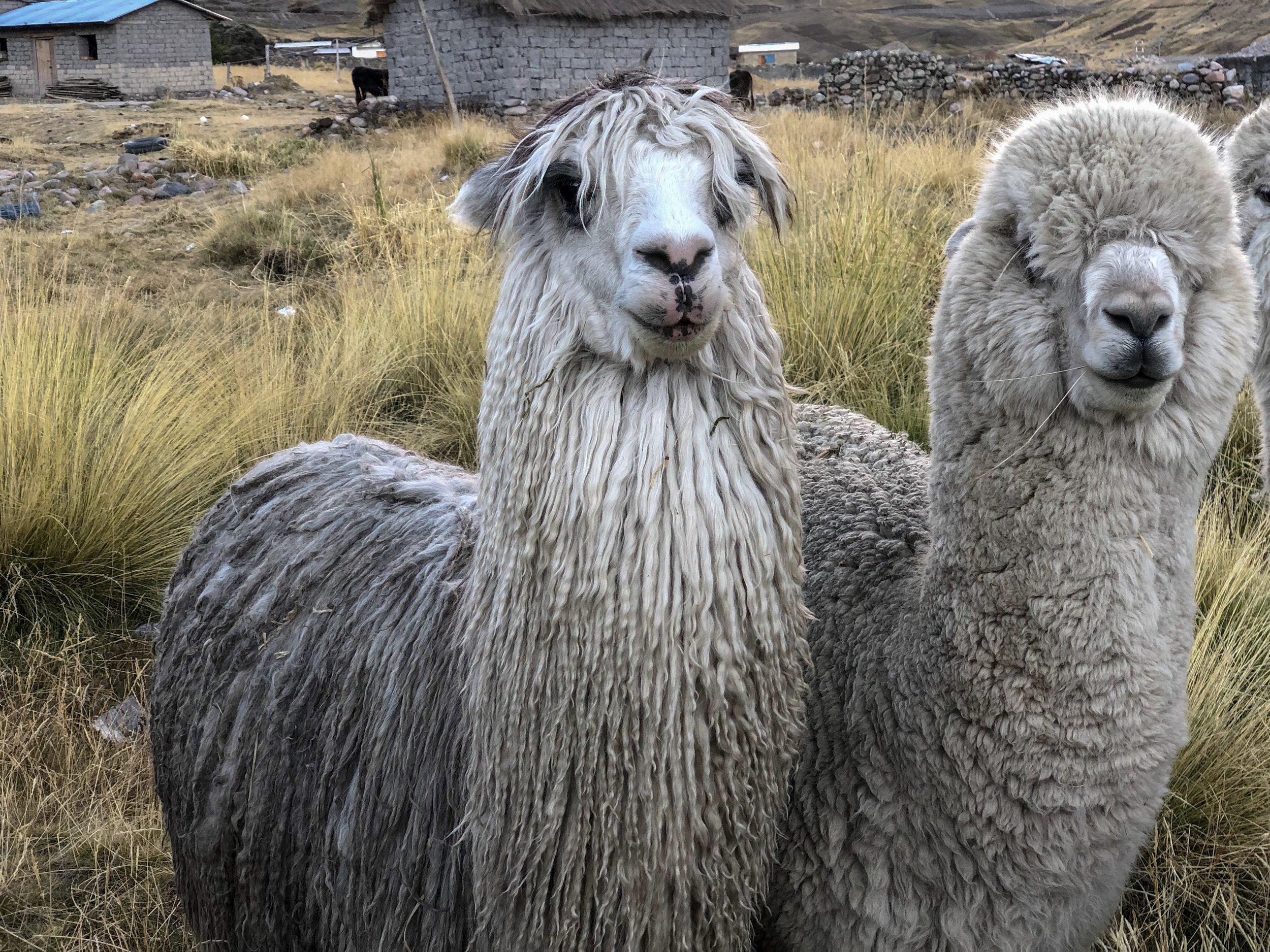 There are two breeds of alpaca; the Suri alpacaand the Huacaya alpaca.
