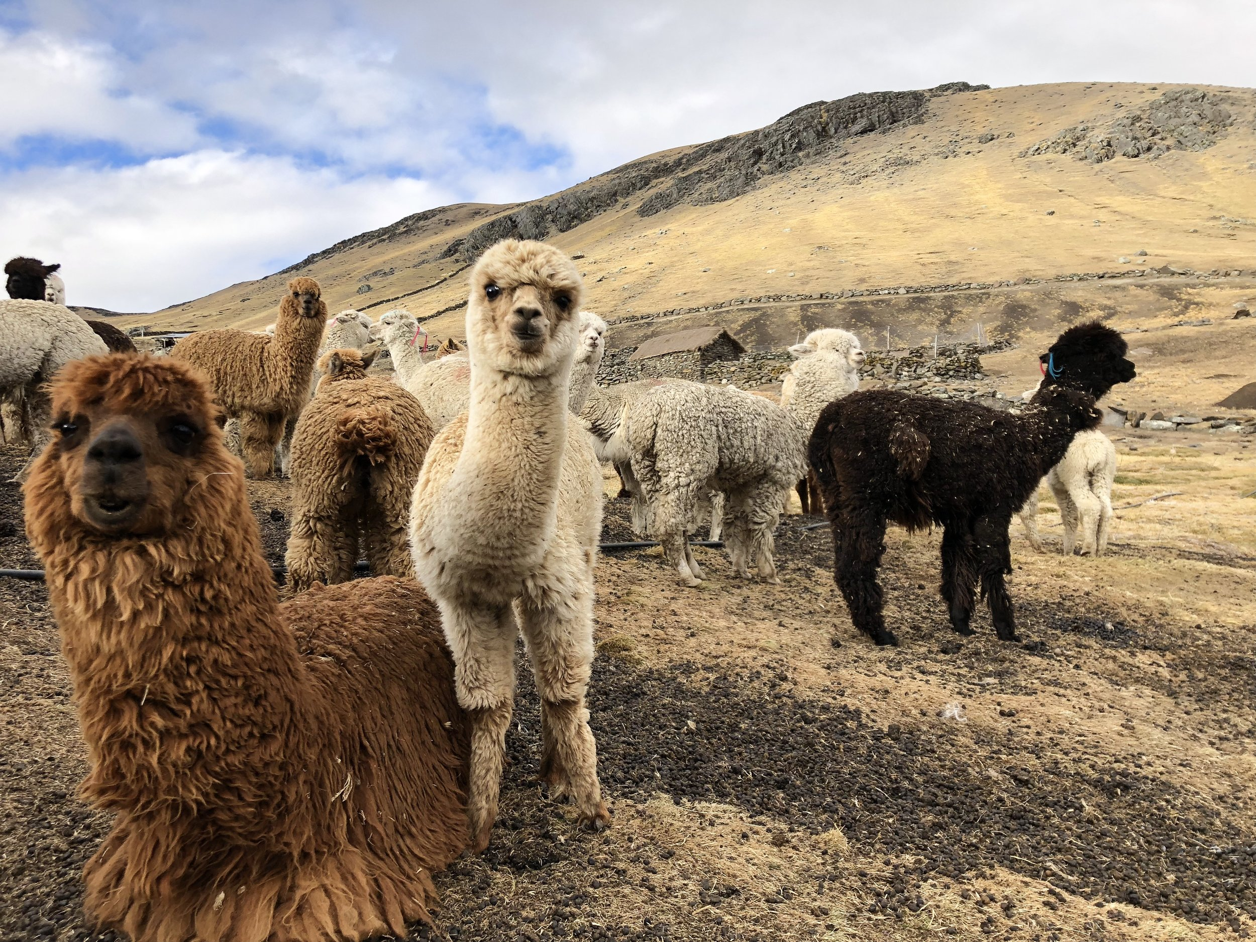 Alpaca does not contain lanolin, making it hypoallergenic and excellent for those with skin sensitivities.