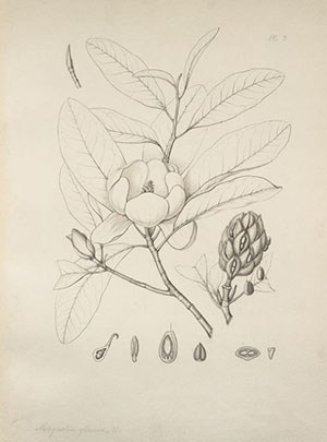 magnolia [V[irginiana a.] glauca       Illustration by charles edward faxon (1846-1918)     Original drawing for silva of north america by            charles sprague sargent [Volume 1, plate 3]