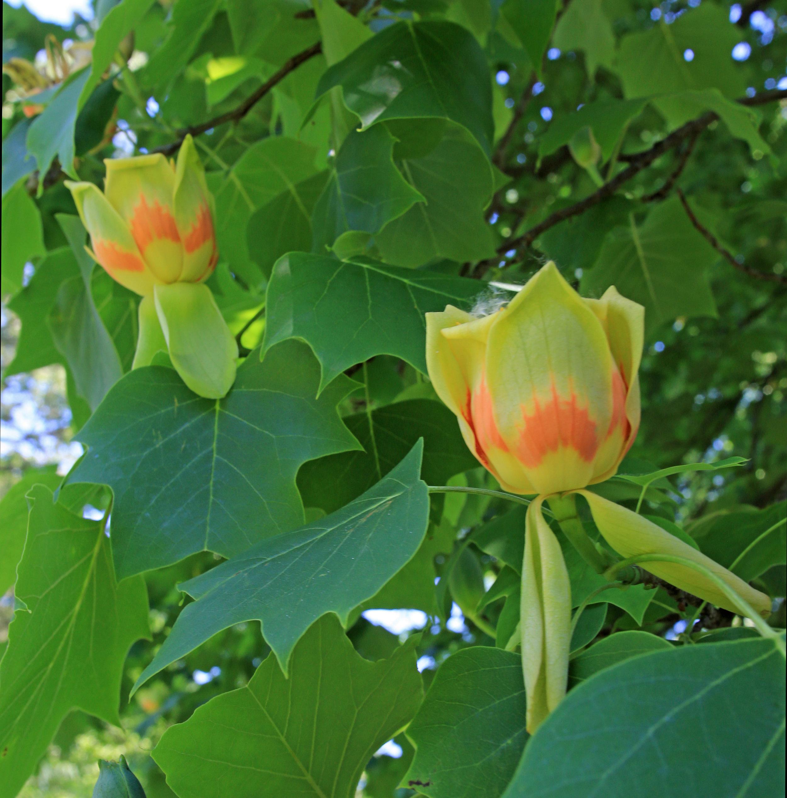 Tulip Tree_Enhanced.jpg