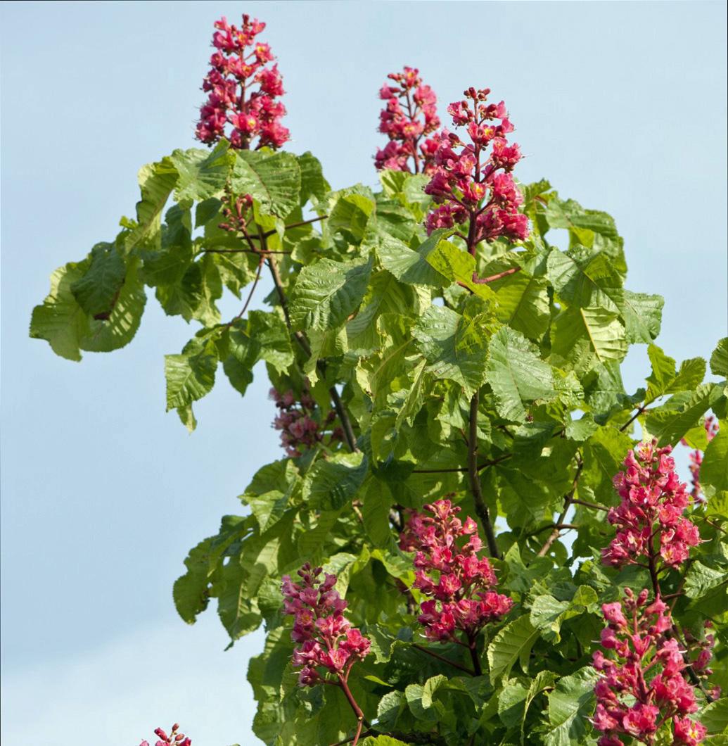 horse-chestnut-tree-flowers_cropped3_public domain.jpg