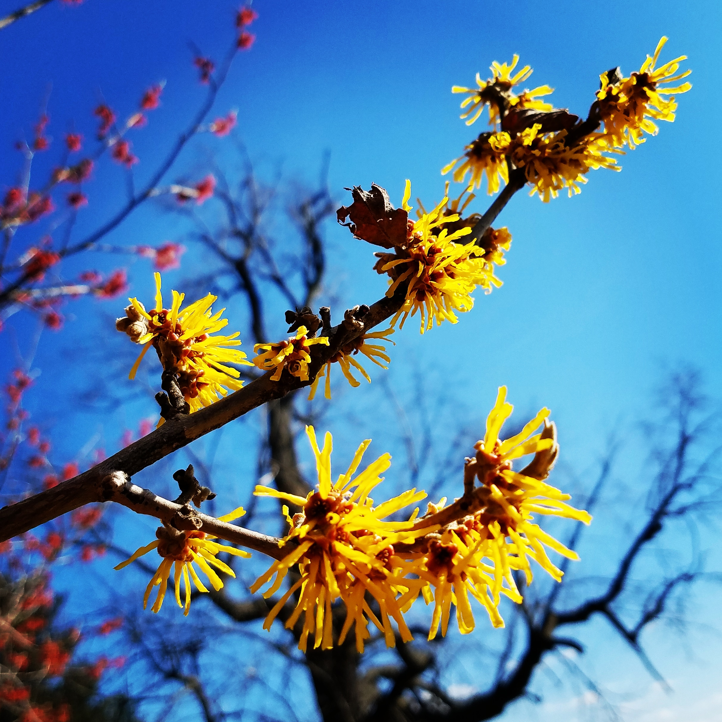 Early Witch hazel