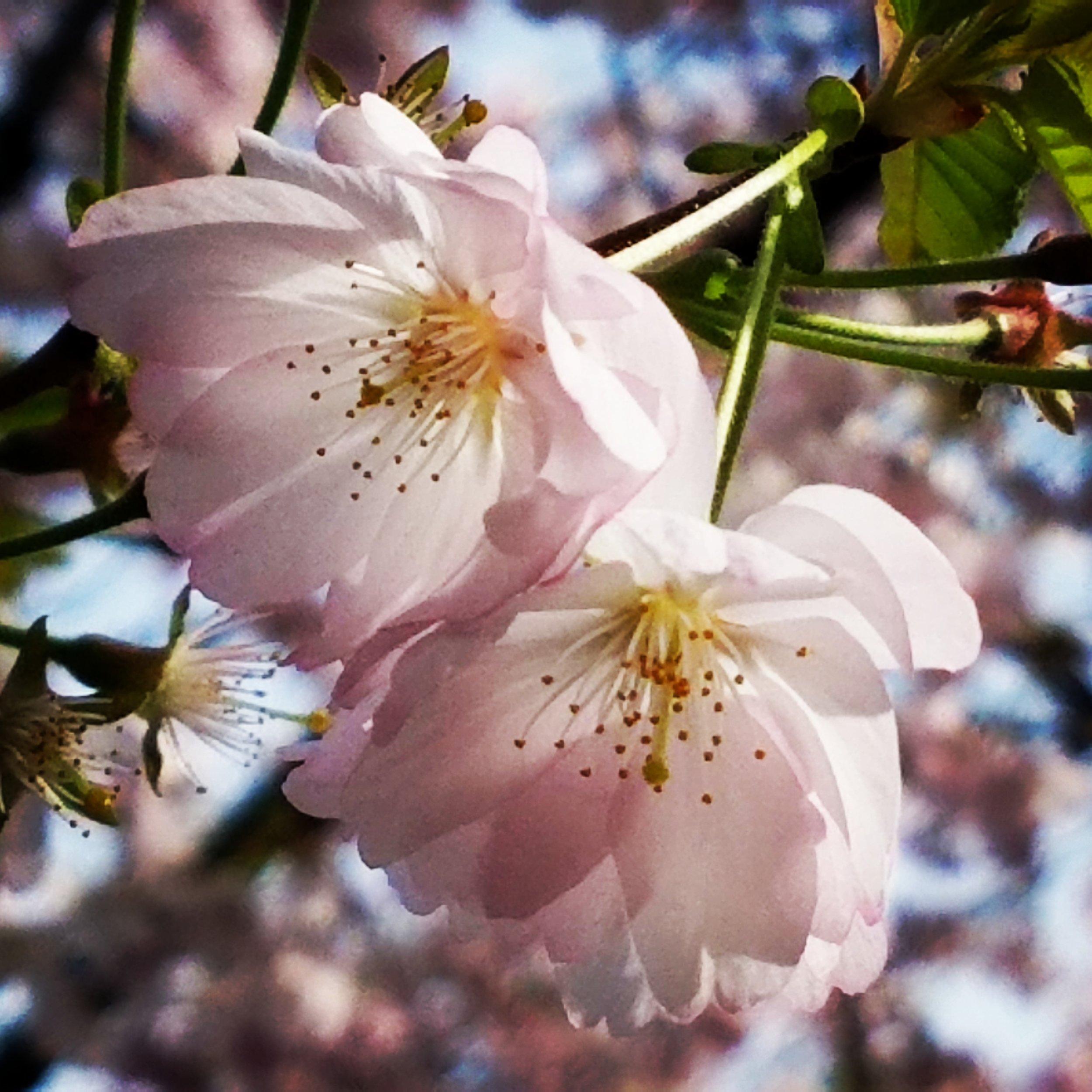 Cherry blossom right.jpg