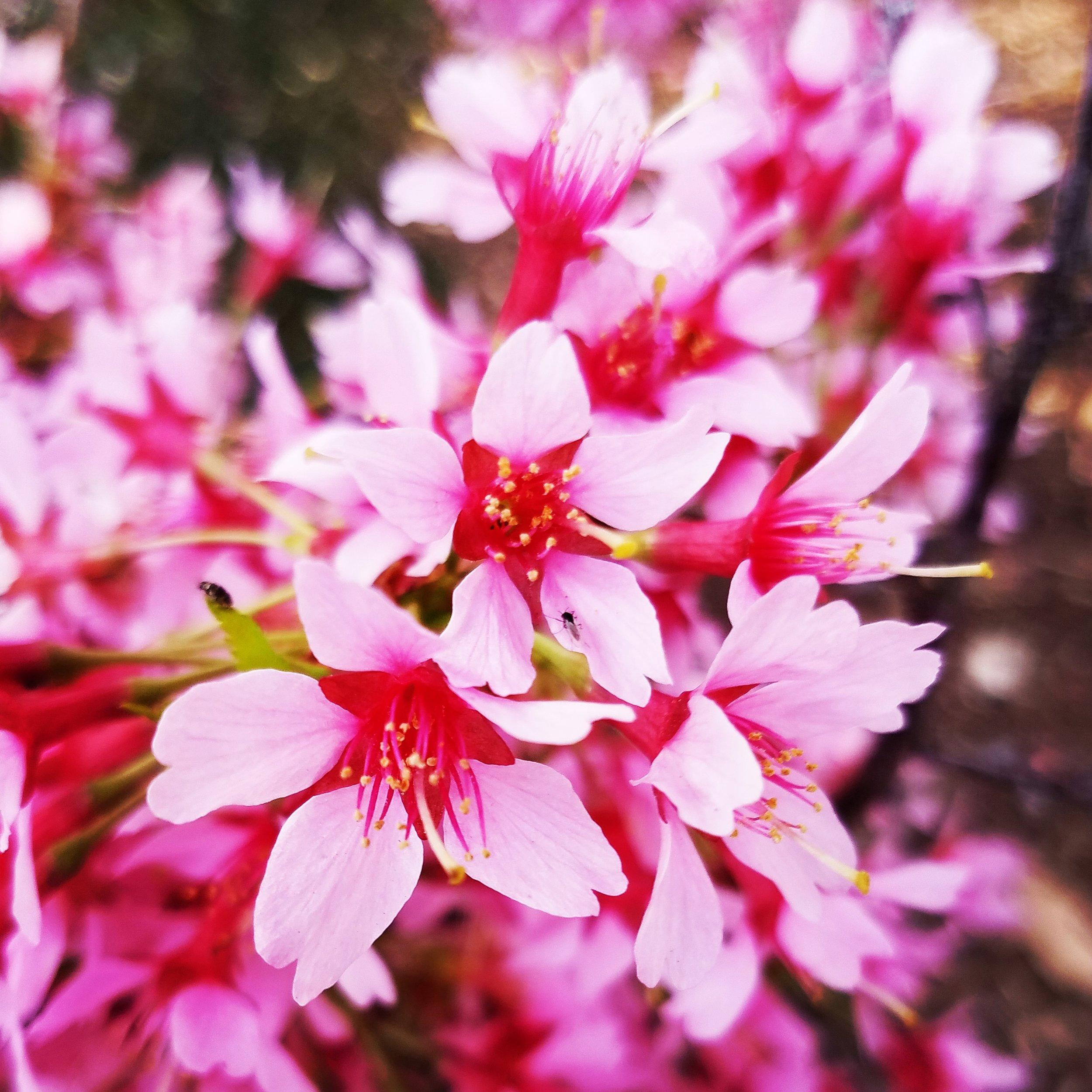Cherry blossom left.jpg