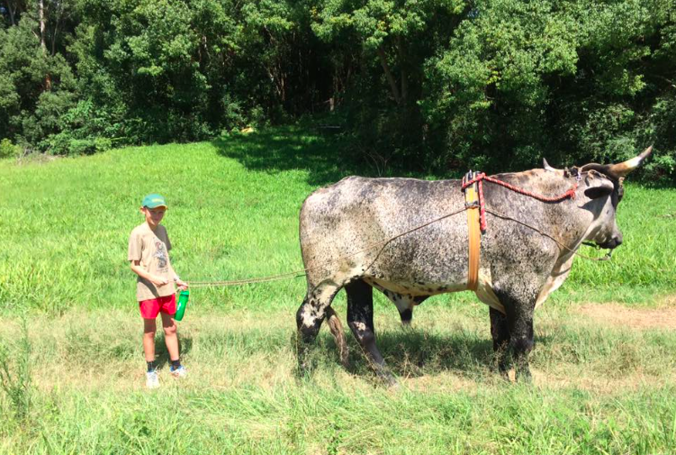 Kids love getting the chance to interact with the gentle giants, for example during bullock training