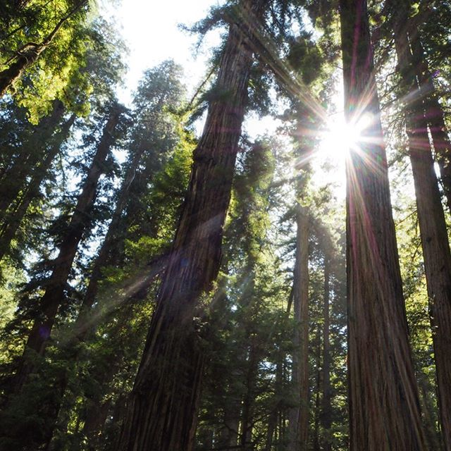 Jedediah Smith Redwood is home of the worlds largest coast Redwoods. #intothewood