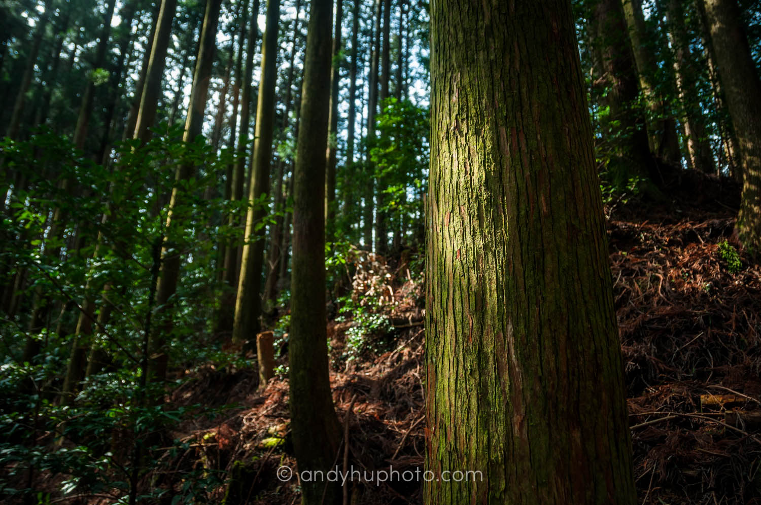 Trees-Kumano Kodo Trek