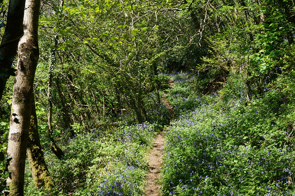 Private woodland with bluebells in spring at wedding venue Pengenna Manor in Cornwall 02.jpg