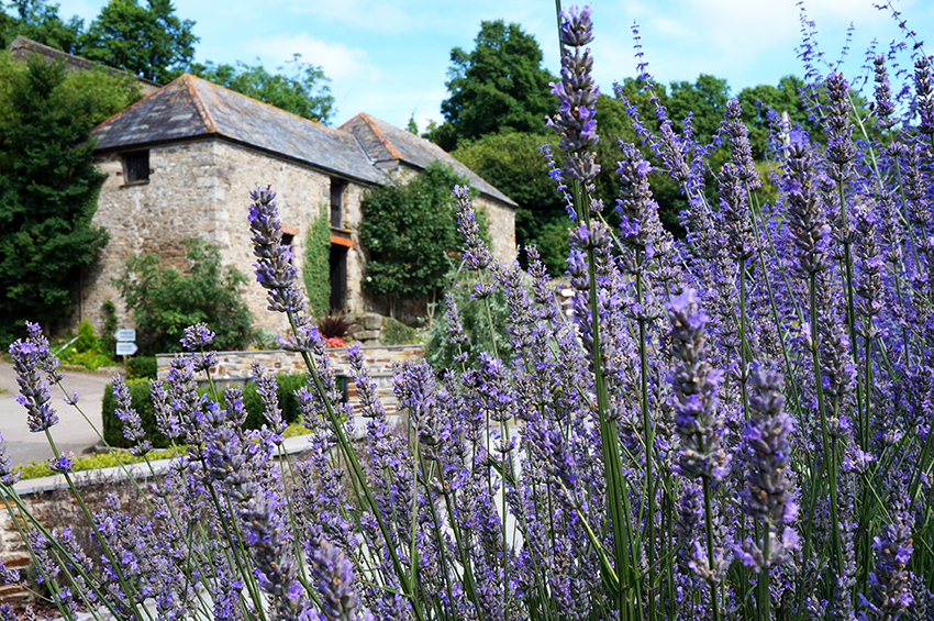 Summer lavender garden border and old farm barn at wedding venue Pengenna Manor in Cornwall.jpg