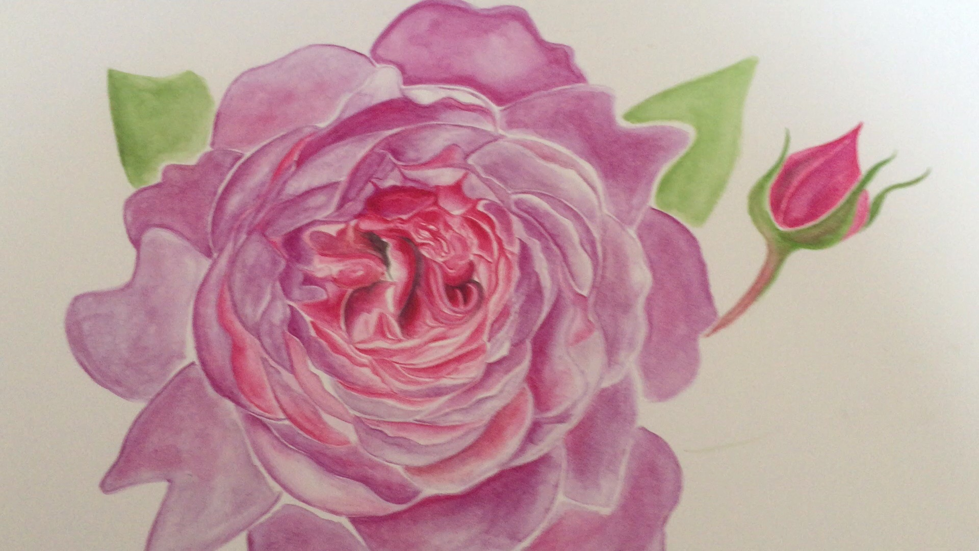 Wisley English Rose   Watercolour Rose   Botanical Art