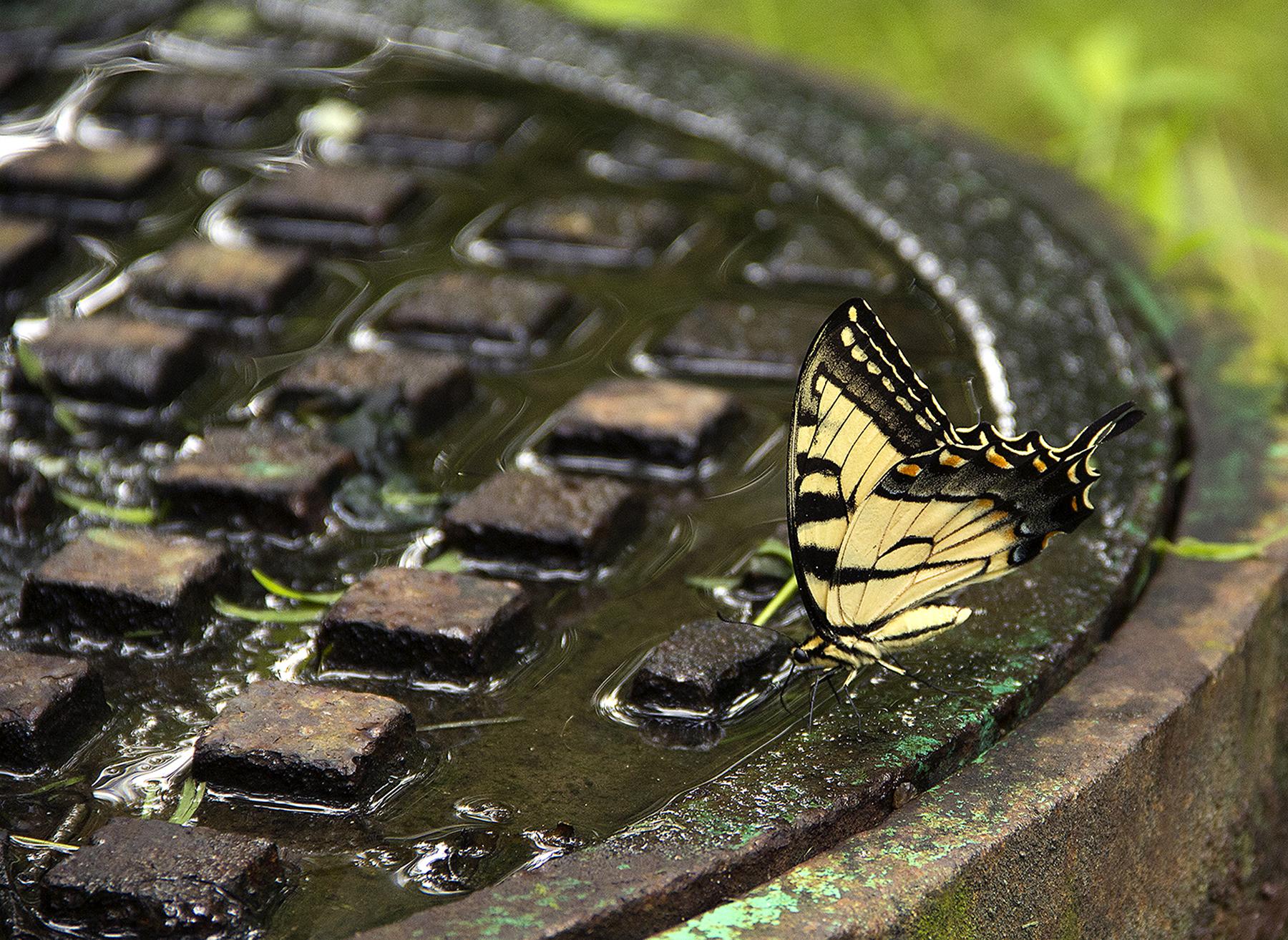 Hanewinckel_0584a_Butterfly at Rest.jpg