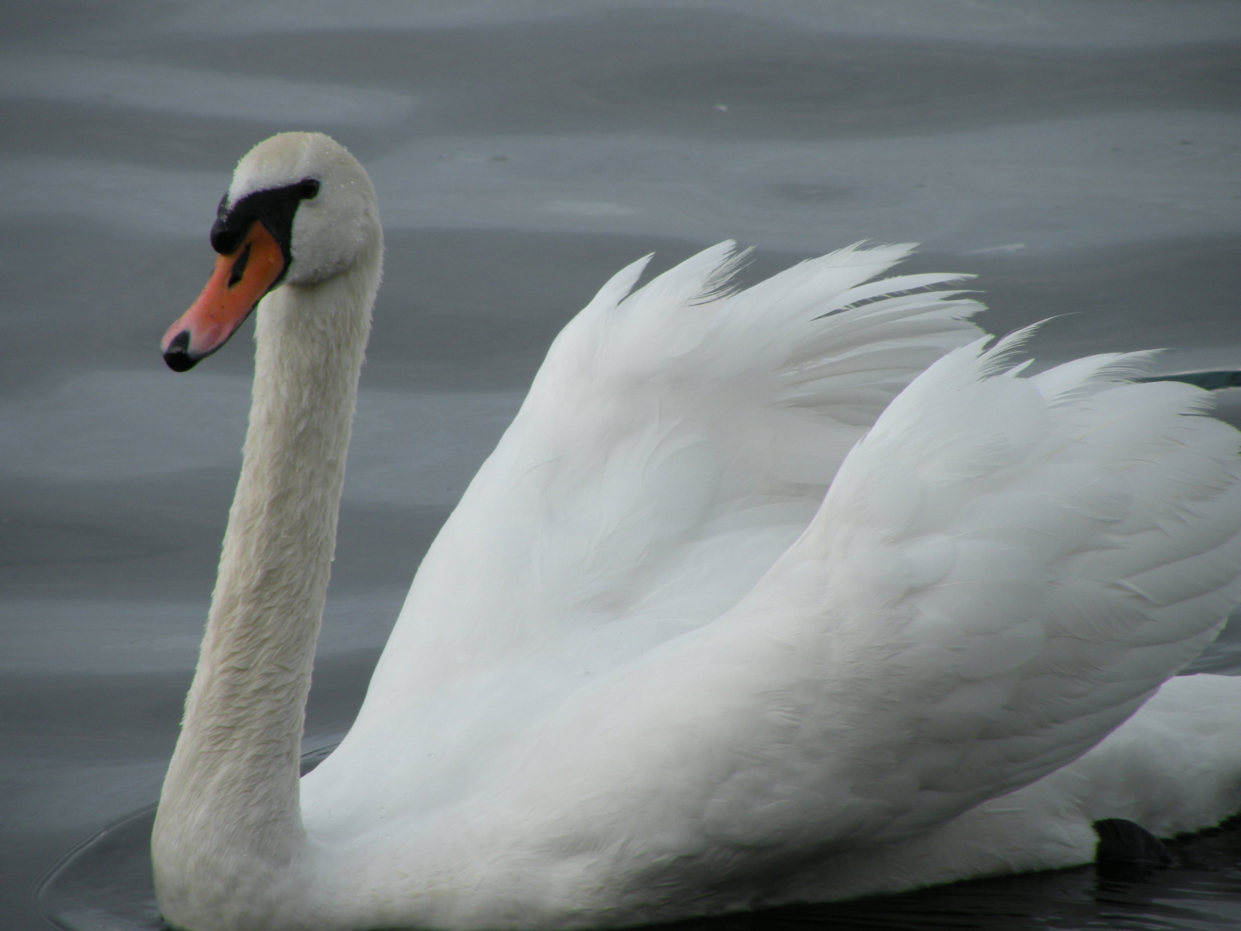 P. Barbenitz, Swan