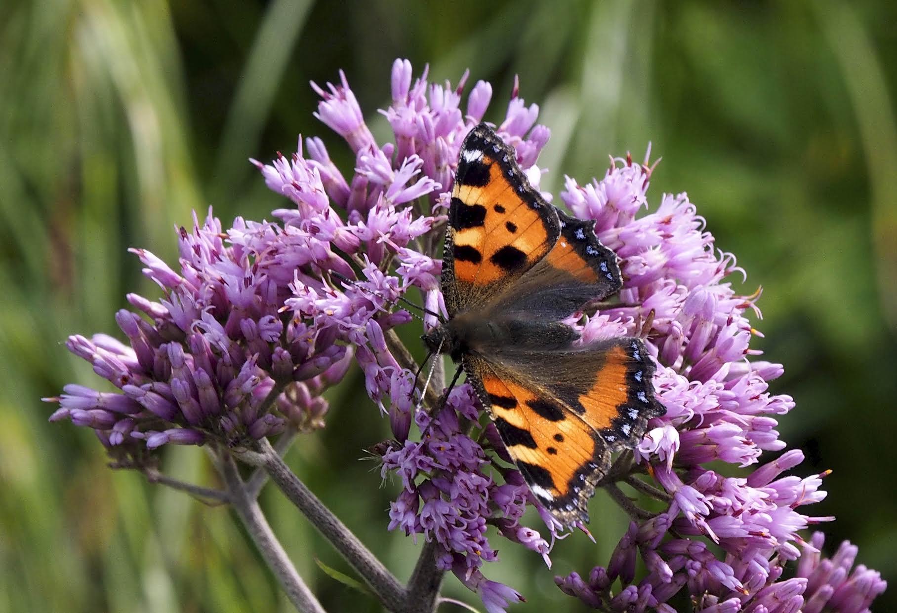 D. Pumplin, Butterfly on Composite Flower, Italy
