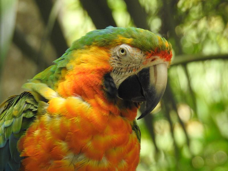 J Zaller, Parrot, Costa Rica
