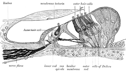 Location of neuronal hair cells in the inner ear (Source: Dimensionsguide)