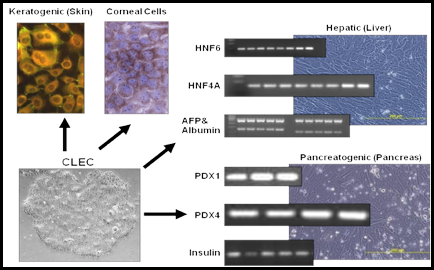 Cord Lining Epithelial Cells Differentiated into Skin, Corneal, Liver and Pancreatic Cells