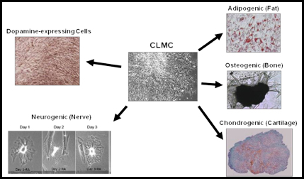 Cord Lining Mesenchymal Cells Differentiated into Fat, Cartilage, Bone and Nerve Cells