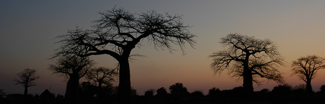 Esse uses natural ingredients derived from African plant biodiversity, such as the fruit and oil of the Baobab tree, pictured here. Pic source: PhytoTrade.