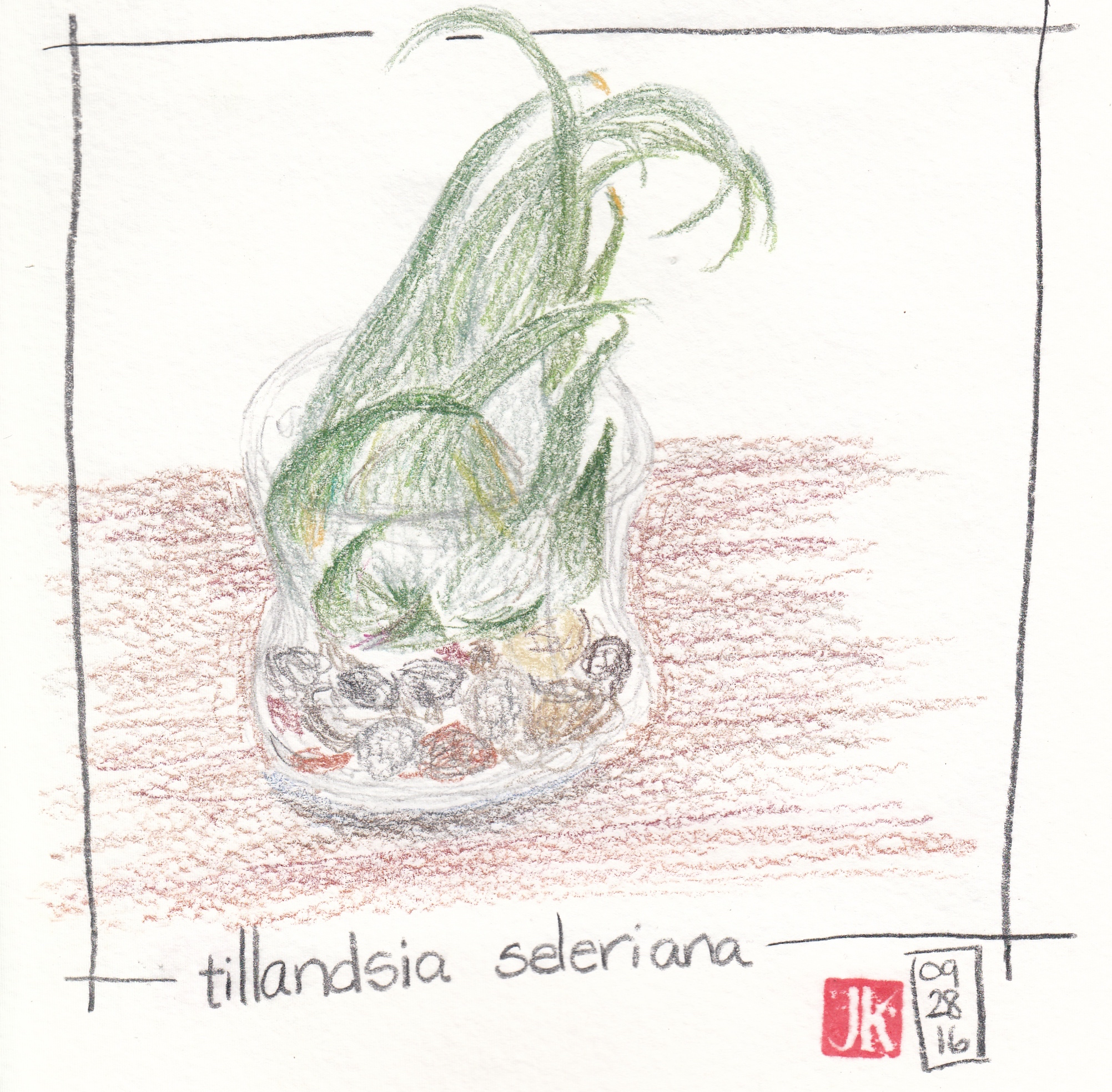 My air plant in color pencil