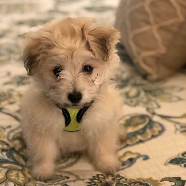 Happy International Dog day. I AM so blessed and grateful to have such a wonderful dog enter my life. This is Winston, he's a maltipom, and nearly 4 months old. The stuff that he sees hanging out with me, he's always barking at unseen things. 😆😂👻 #justinchasemullins #maltipom #psychic #psychicmedium #meditation #motivation #motivationalquotes #business #empath #paranormal #travelchannel