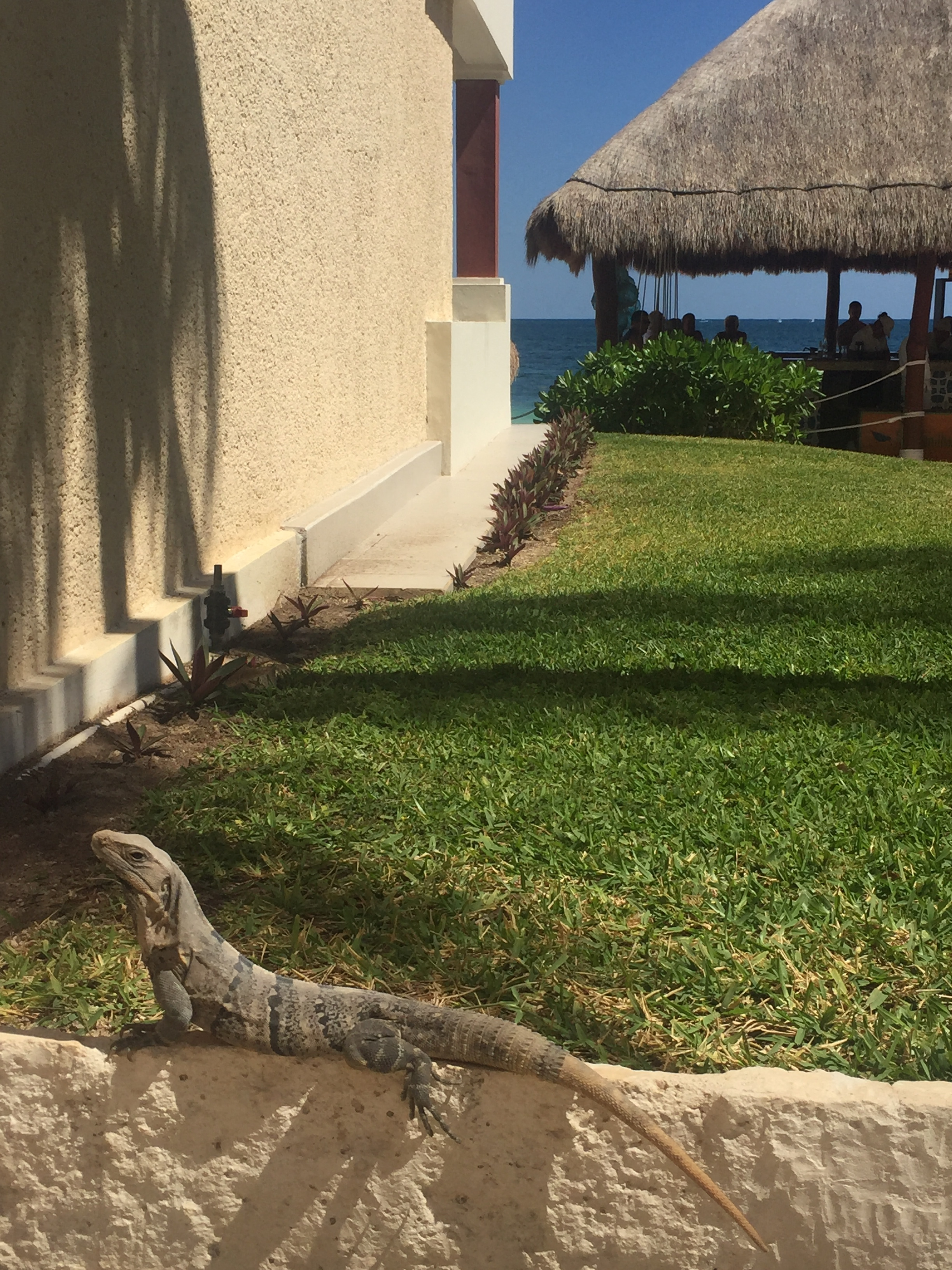 Iguana right outside our building.
