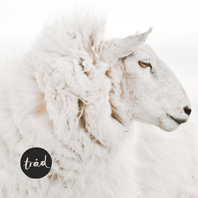 I'm really thrilled to finally share that the first episode of our podcast @traad_podkast is live! ✨🎧🐏 Tråd (that's Norwegian for thread) is a podcast in Norwegian about wool and creative entrepreneurship. Each episode is a conversation with people in our local wool and textile industry, where you get to hear their personal journeys as crafters and businesspeople.  Tråd is a collaborative effort with the lovely @sjaastad (who also runs @oslostrikkefestival - just saying, she is awesome). You can listen on iTunes or online (link in bio). I hope you want to join us on this journey! It's a project that has stretched me in all directions, and I am learning at every step of the way. So, bear with me.🙈 But to have the opportunity to talk to some amazing people in the wool and fiber community and to share their wisdom with you – that is worth all the fear and fumbling along the way. ✨🙏🏻✨ #trådpodkast