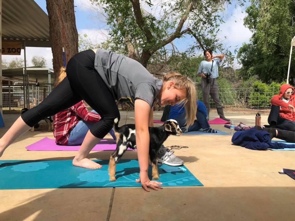 goat yoga 2.jpg