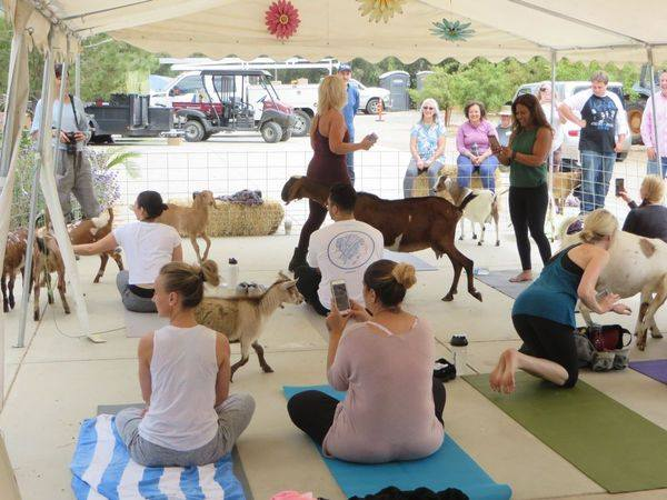 Enjoy a Yoga Class at the Farm with Goats - Stretch, relax, pet a goat, repeat!