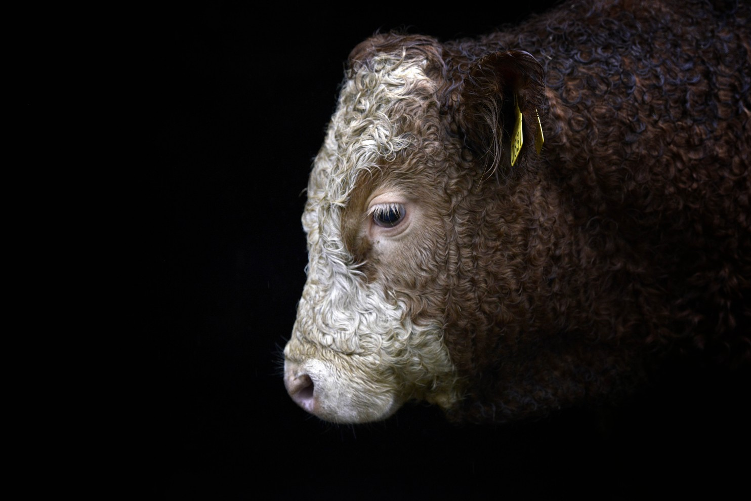 A grass-fed yearling bull. Experts differ over whether grass feeding is better than feedlots. (Charles McQuillan/Getty Images)