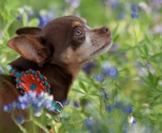 chi and blue bonnets.jpg