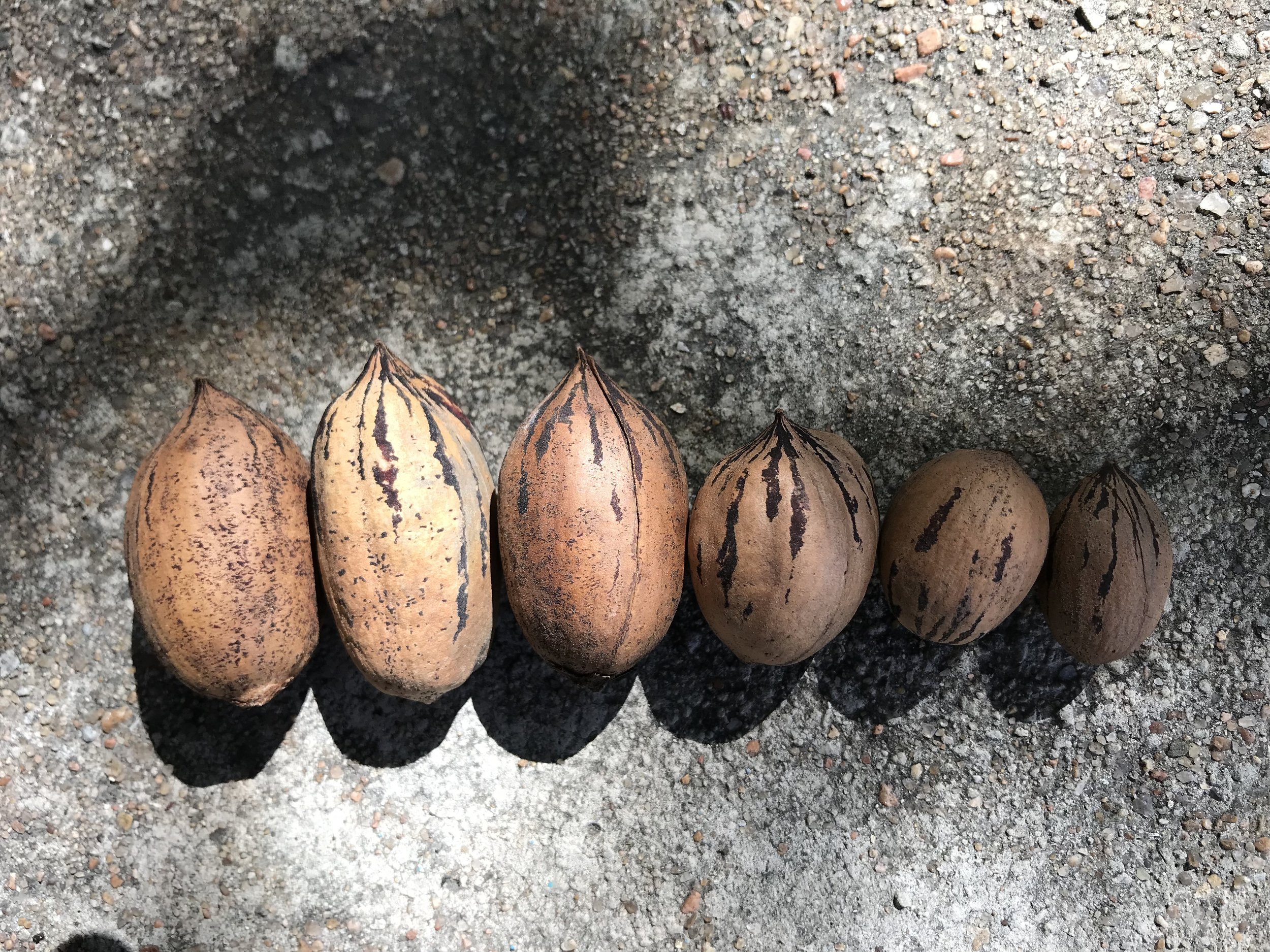 Size variation among the pecans we picked. The bigger ones were easier to pick, but clearly less tasty. Do you prefer tastier foods? Or more calories?