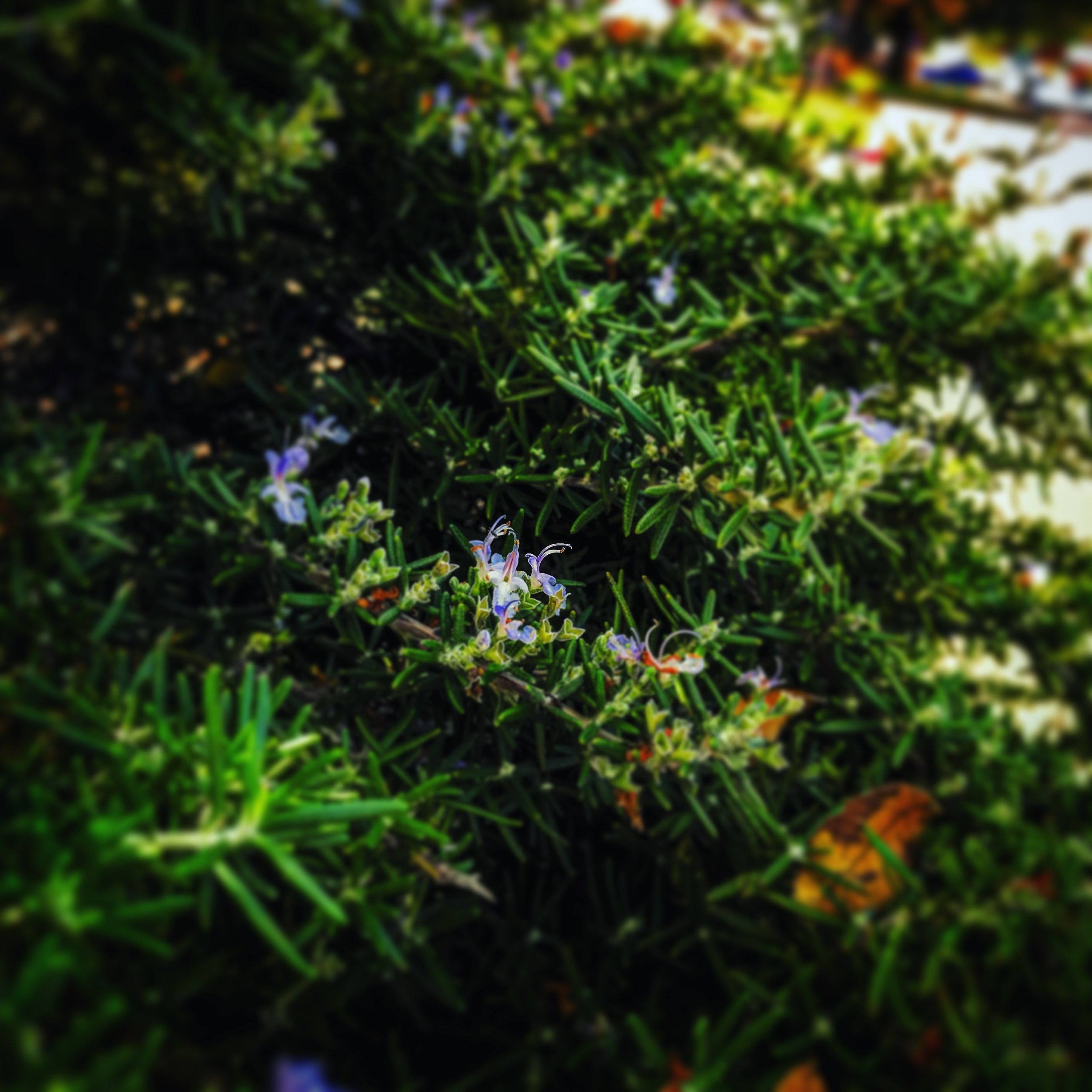 Rosemary was on every single street we walked down. The scent was invigorating.