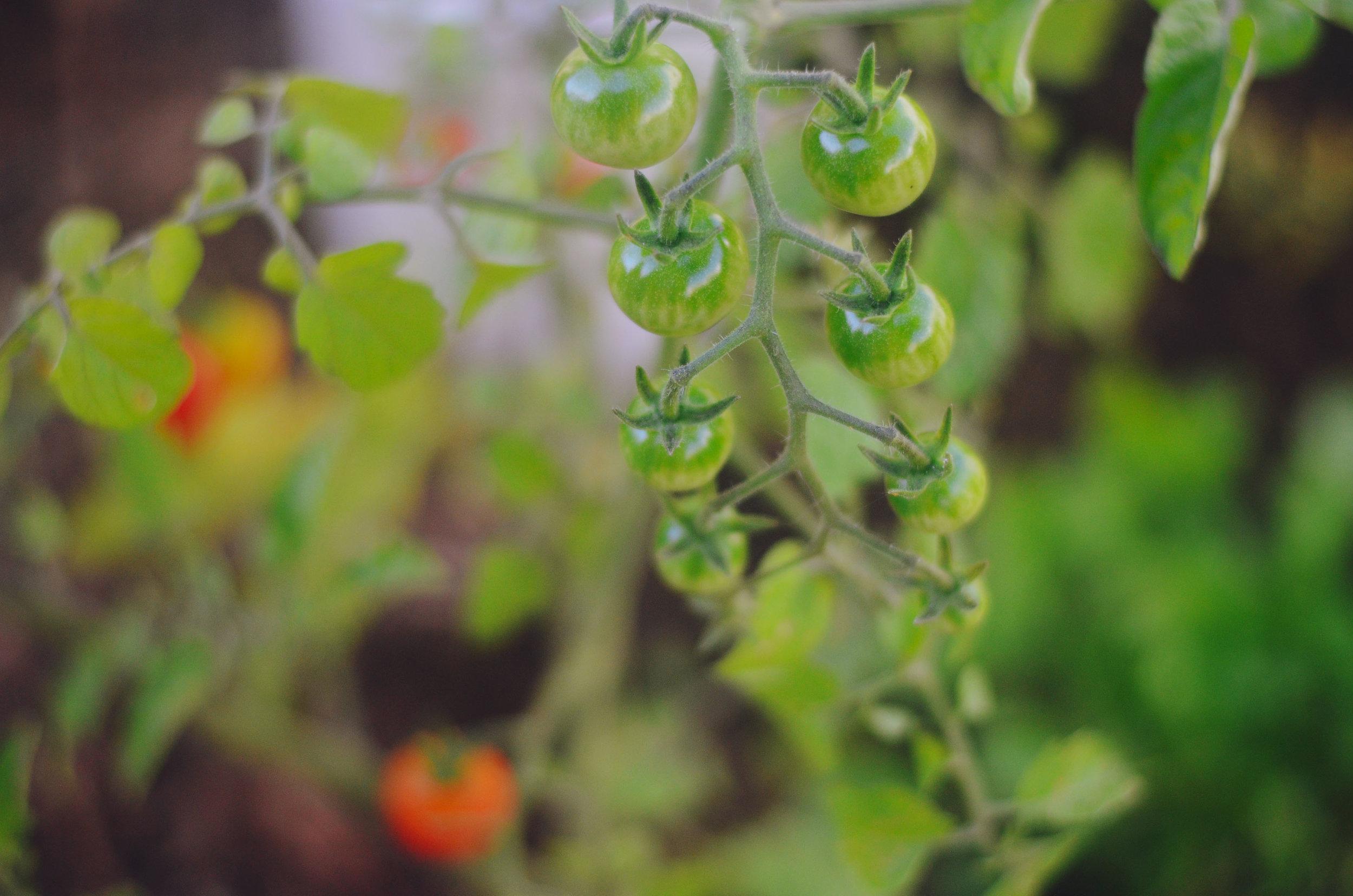 cherrytoms.jpg