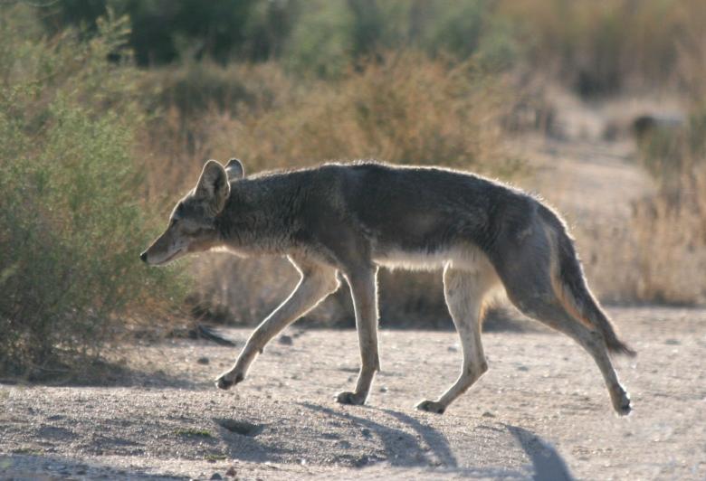 Coyote_avise.jpg