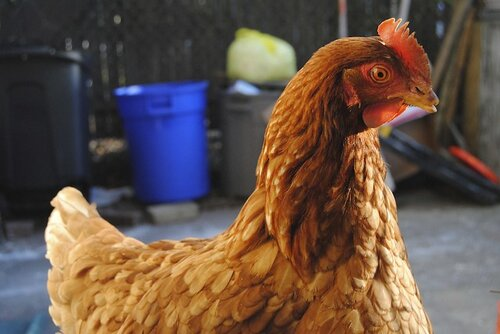 Rooster, credit: naeemacampbell/Flickr