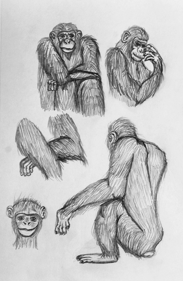Chimpanzee Study -     Graphite - 2017