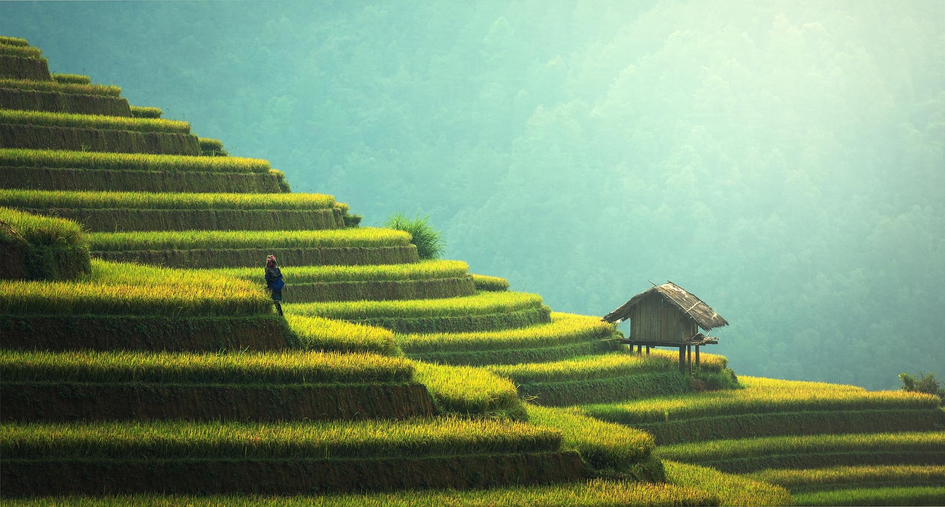 Alleine im Jahr 2016 wurden in Vietnam mehr als 40 Millionen Tonnen Reis angebaut.