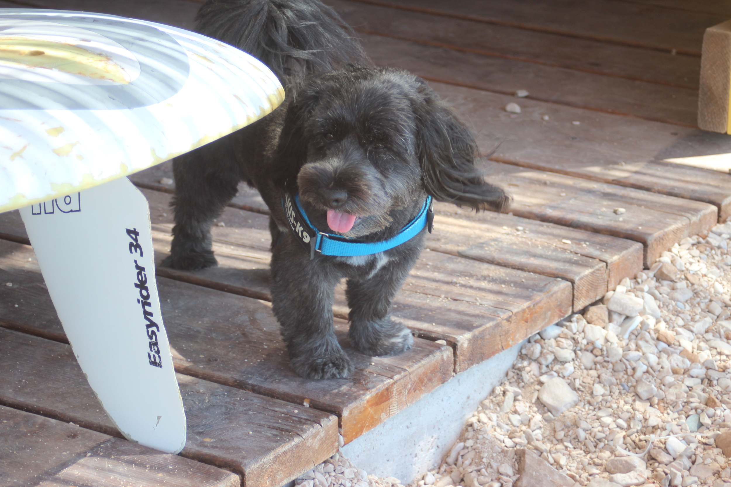 ELVIS the surfer dog 1