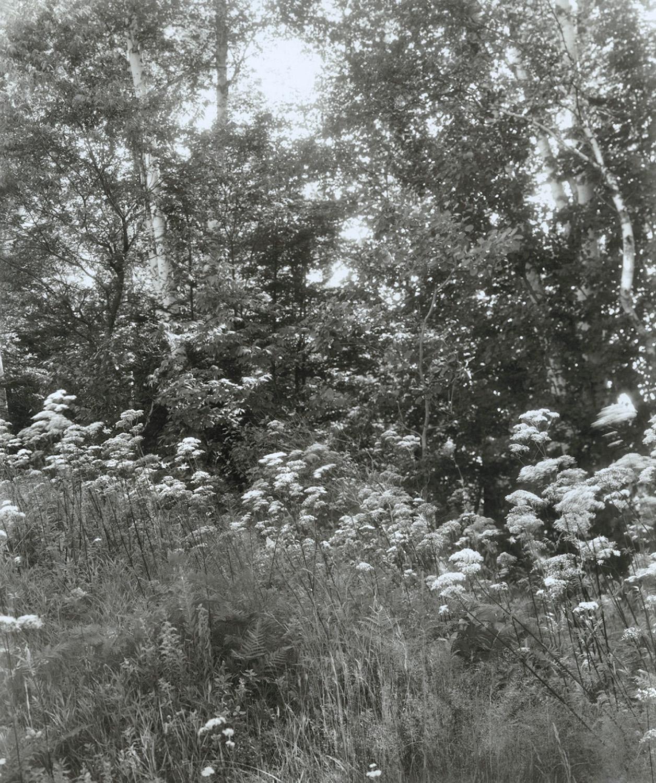 Elvira_Piedra_Birches_Lunenburg_Vermont_Summer.jpg