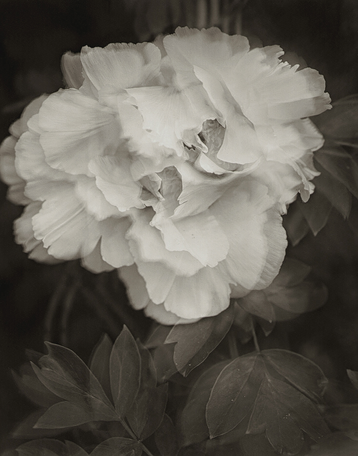 The Spirit of My Friend, Paeonia Rockii, Linwood Gardens, 2007