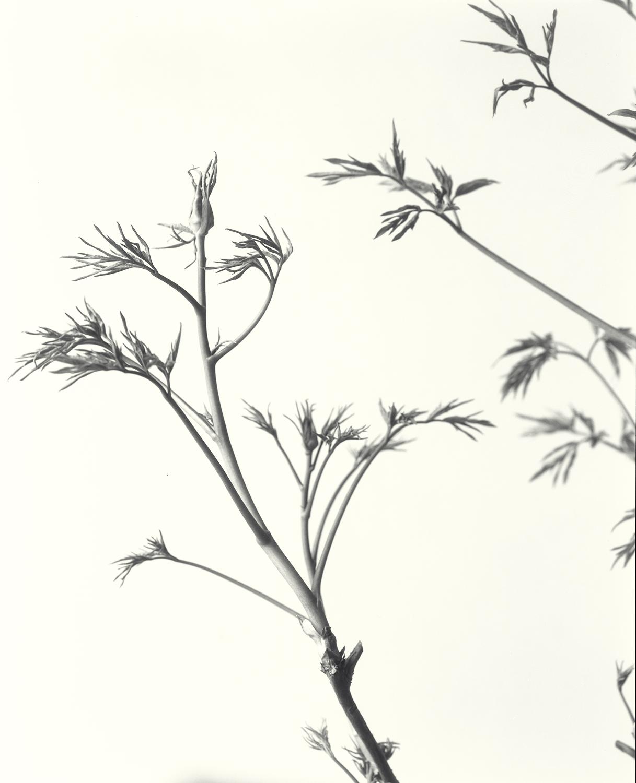Elvira_Piedra-Snow-Lotus-Tree-Peony-Buds.jpg