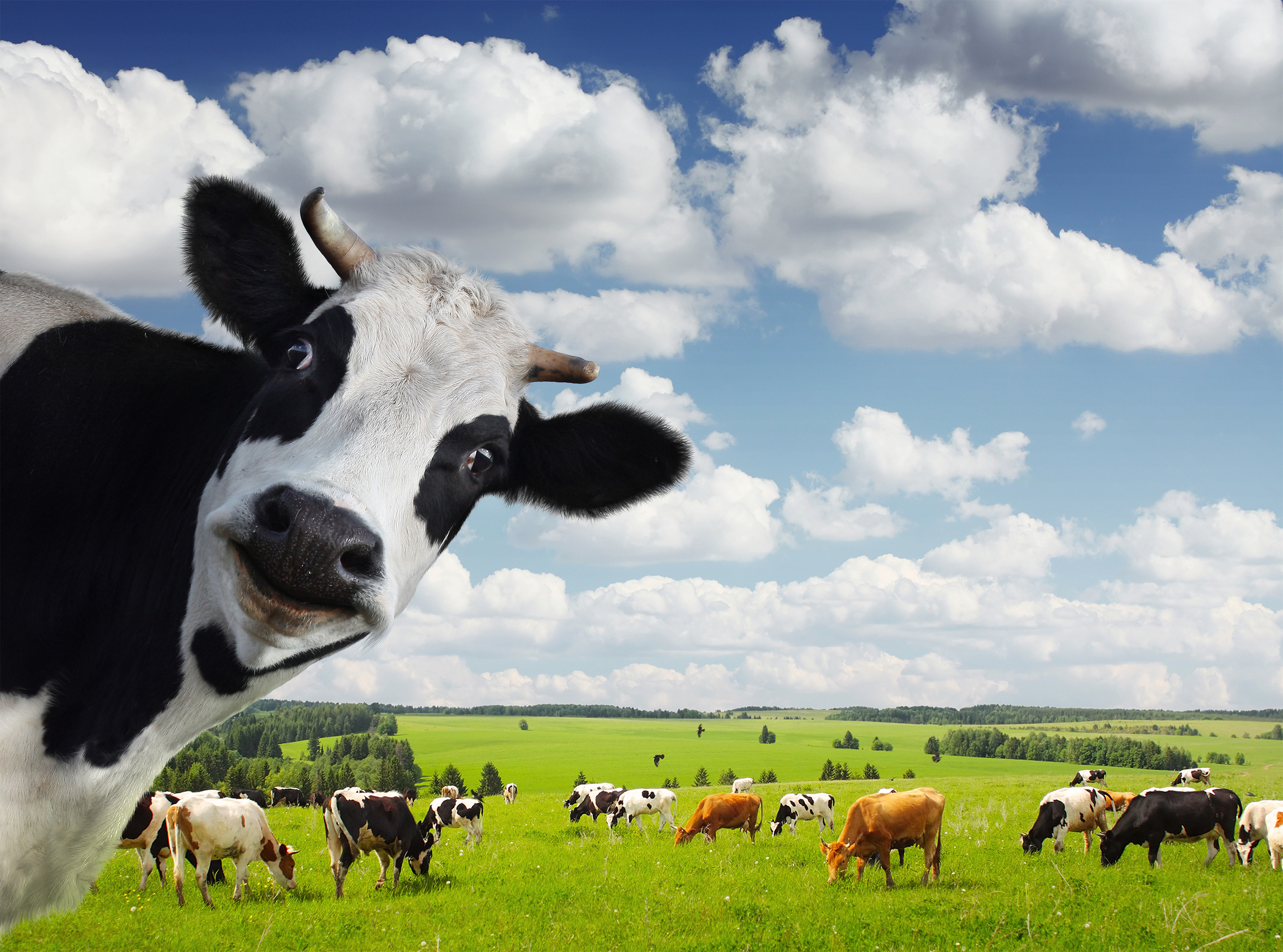 bigstock-Funny-cow-looking-to-a-camera--34491248.jpg