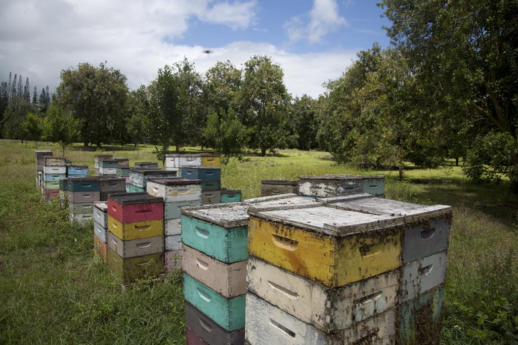 hives in mac nut yard.jpg
