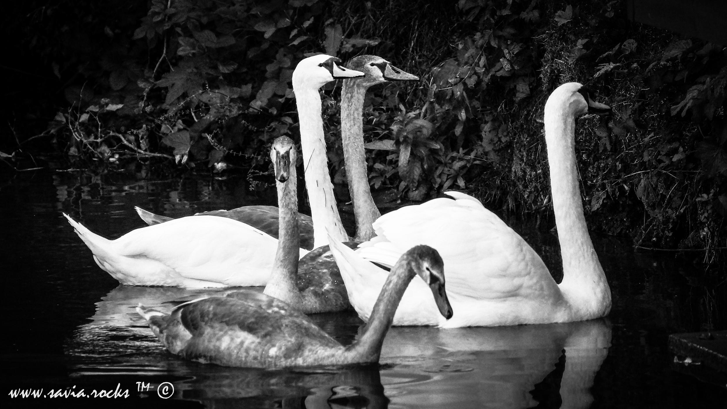 Swan - 1.1.jpg