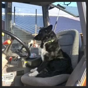 Lyddie - Working Dog